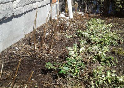 Rejuvenation pruning done on Spiraea bumalda