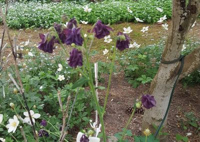 Columbine (Aquelegia) and spring Anemone