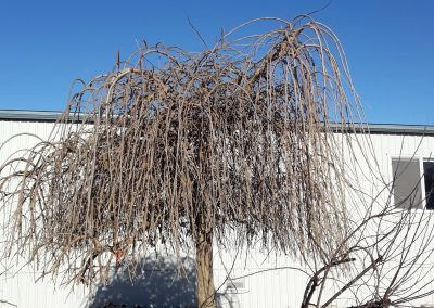 Weeping Mulberry (Morus alba 'pendula') before pruning