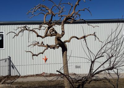 Weeping Mulberry (Morus alba 'pendula') after proper pruning