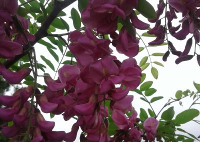 Robinia 'Purple Robe' (Black Locust)