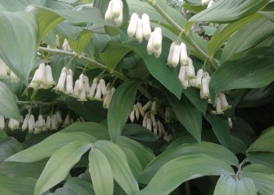 Polygonatum flowers (Solomon's seal)