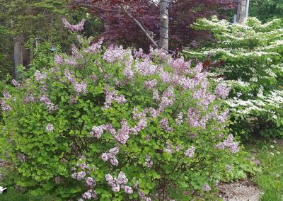Dwarf lilac (Syringa), Purple beech (Fagus), and Viburnum