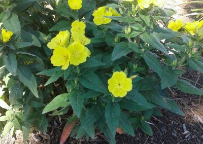 Oenothera (Evening primrose)