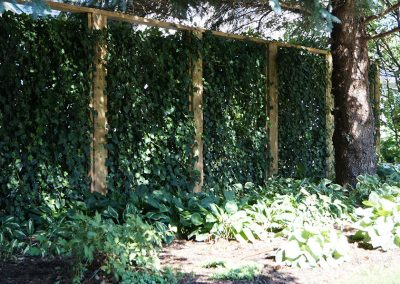 Living Ivy wall in a shade garden with lots of Hosta